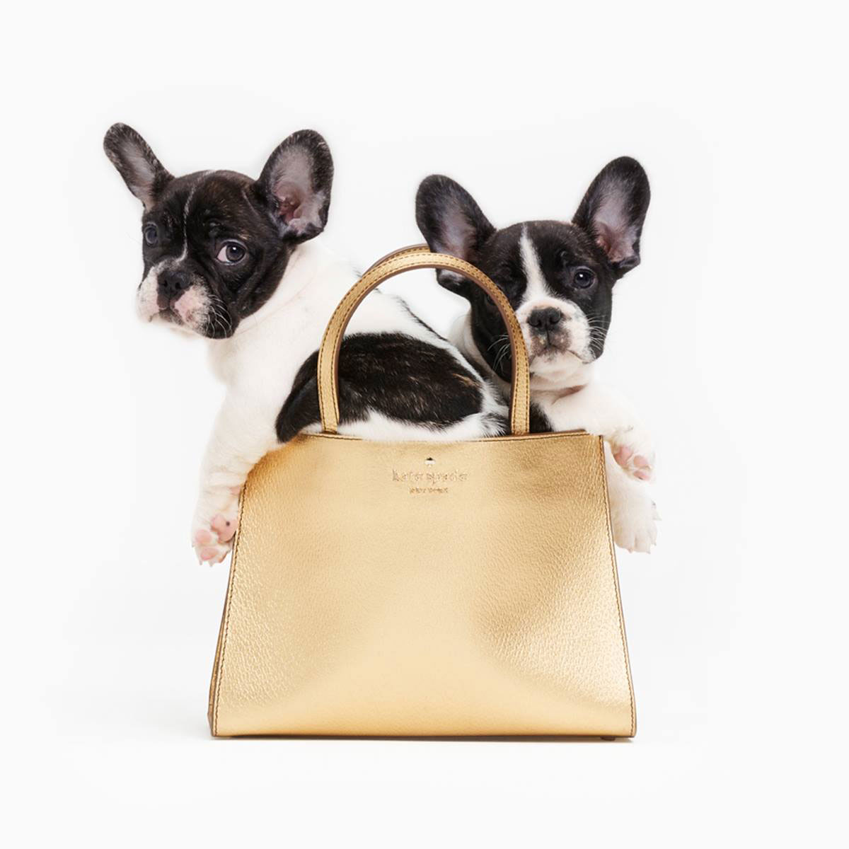 Kate Spade, French bulldog, Frenchies, puppies, dog